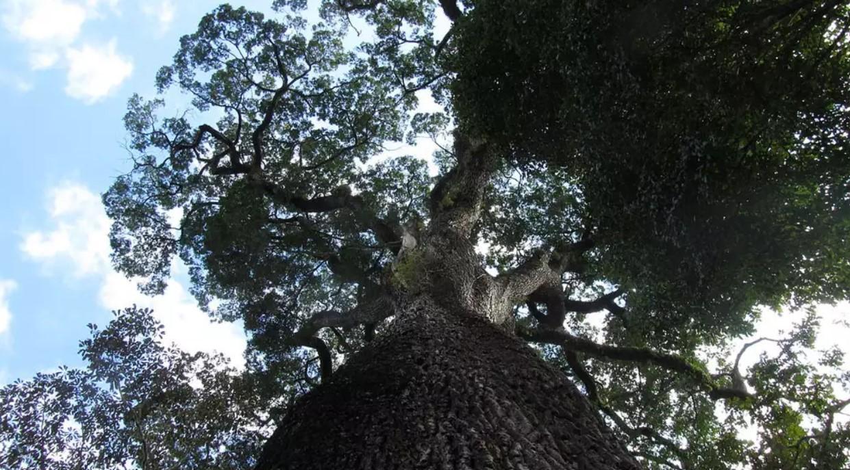 Oldest Living Trees, Patriarca da Floresta