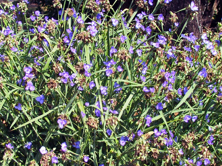 top option tradescantia ohiensis edible flowers