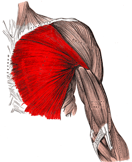 pectoralis minor- by  www.physiofeeds.com