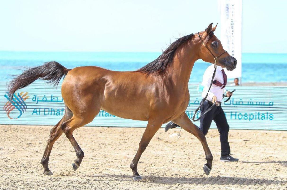 """""""أميرة المكتوب"""" تتألق في بطولة الظفرة للخيول العربية"""