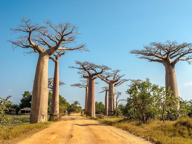 Baobab senza Foglie