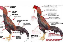 7 Jenis Ayam Bangkok Terbaik Yang Wajib Anda Ketahui