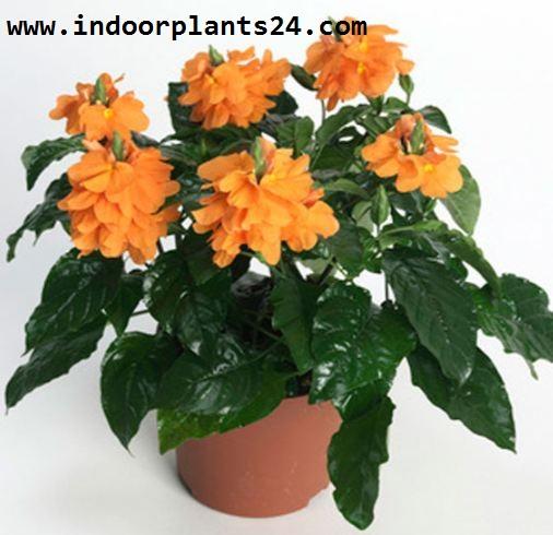 Crossandra Infundibuliformis Acanthaceae