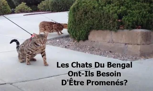 Les Chats Du bengal Ont-Ils Besoin D'Être Promenés?