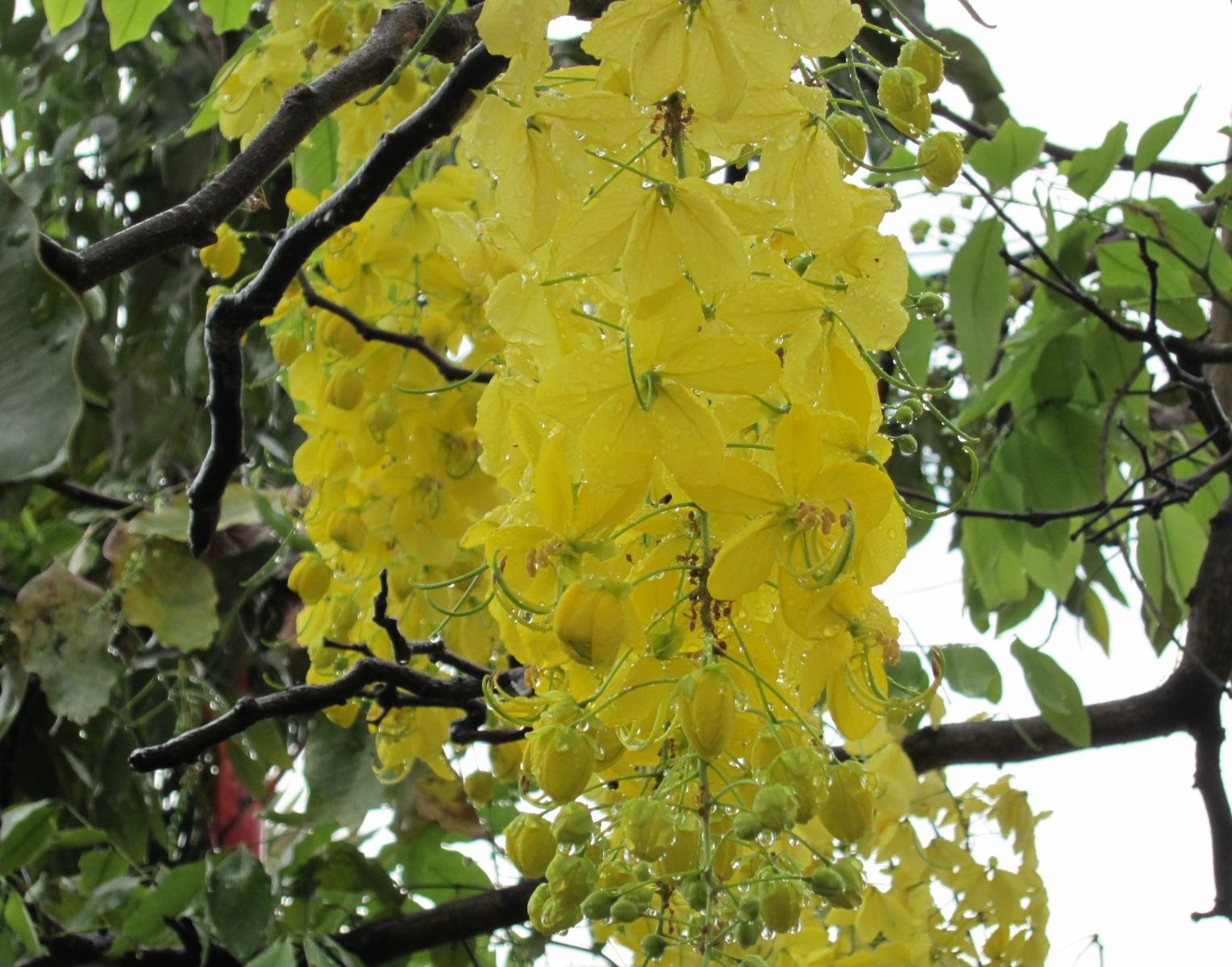 Komunitas Bunga Bunga Nasional Thailand