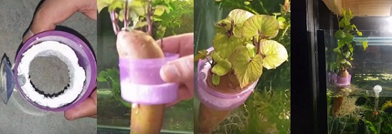 Sweet potato plant is added to the aquarium