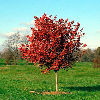 October glory maple tree pros and cons