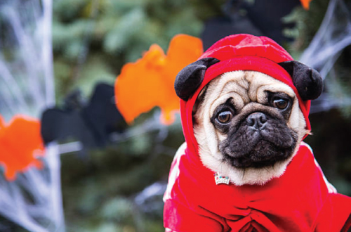 pug in costume