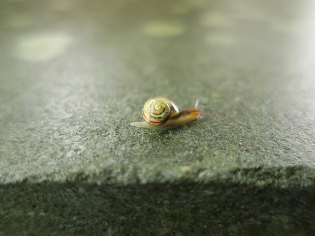 Incredibly tiny snail on a wall in Nottinghamshire. 27th July 2020