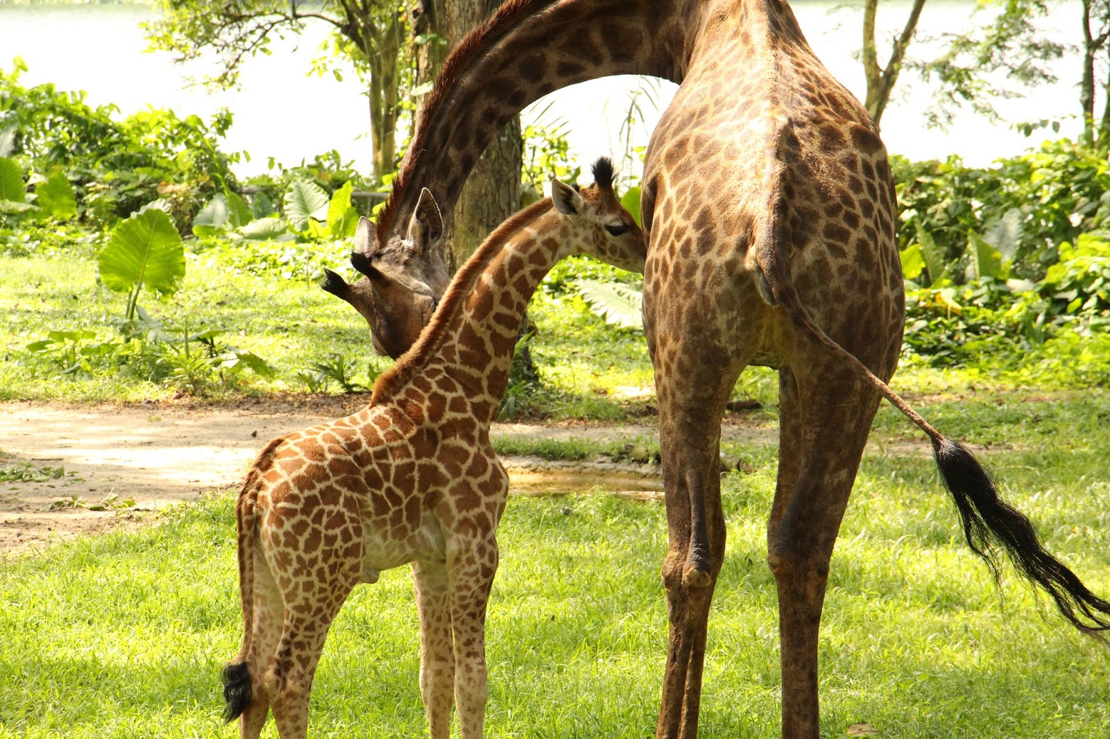TALLEST SG50 BABY SPOTTED IN SINGAPORE ZOO