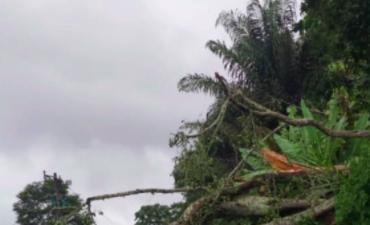 Pohon Tumbang di Jalinsum Siborongborong, Arus Lalu Lintas Sempat Terputus