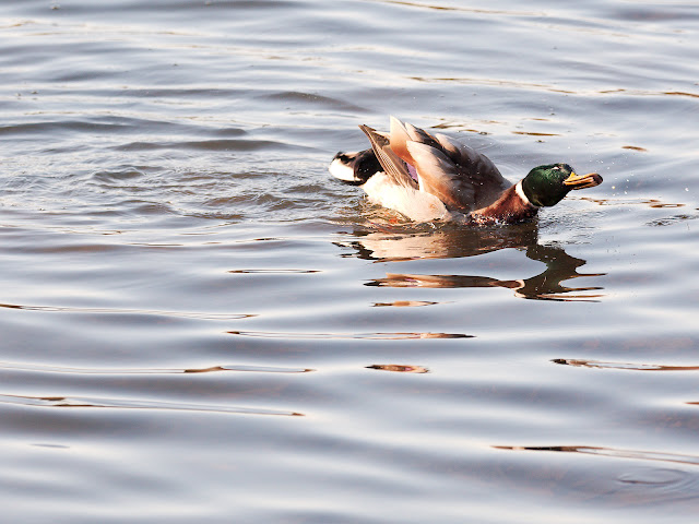 Ente schüttelt sich