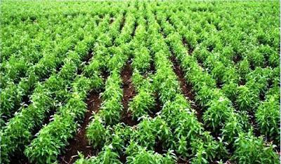 «Ζαχαρώνουν» τη στέβια οι κολοσσοί τροφίμων επενδύοντας στην ανάπτυξή της.