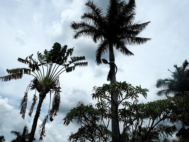 Palm trees in the town of Copan, Honduras