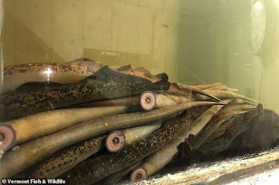 Ikan Vampire, Vampire Fish