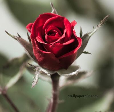 beautiful rose wallpaper stock photo