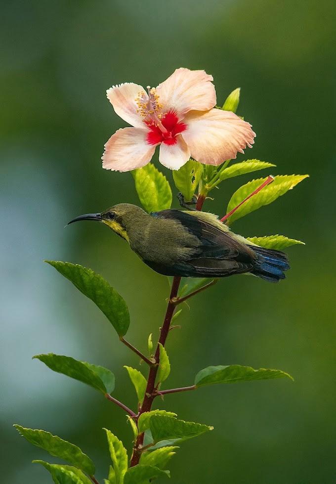 Purple Sunbird male in eclipse plumage