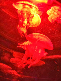 a jellyfish with stumpy tentacles lit up in red light