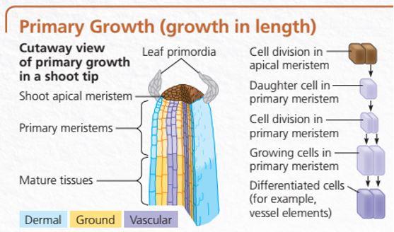 pertumbuhan primer pada ujung batang