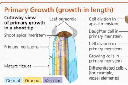 Jenis-Jenis Pertumbuhan Primer pada Tumbuhan