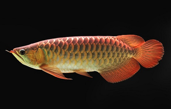 Breeding and selling expensive and rare fish