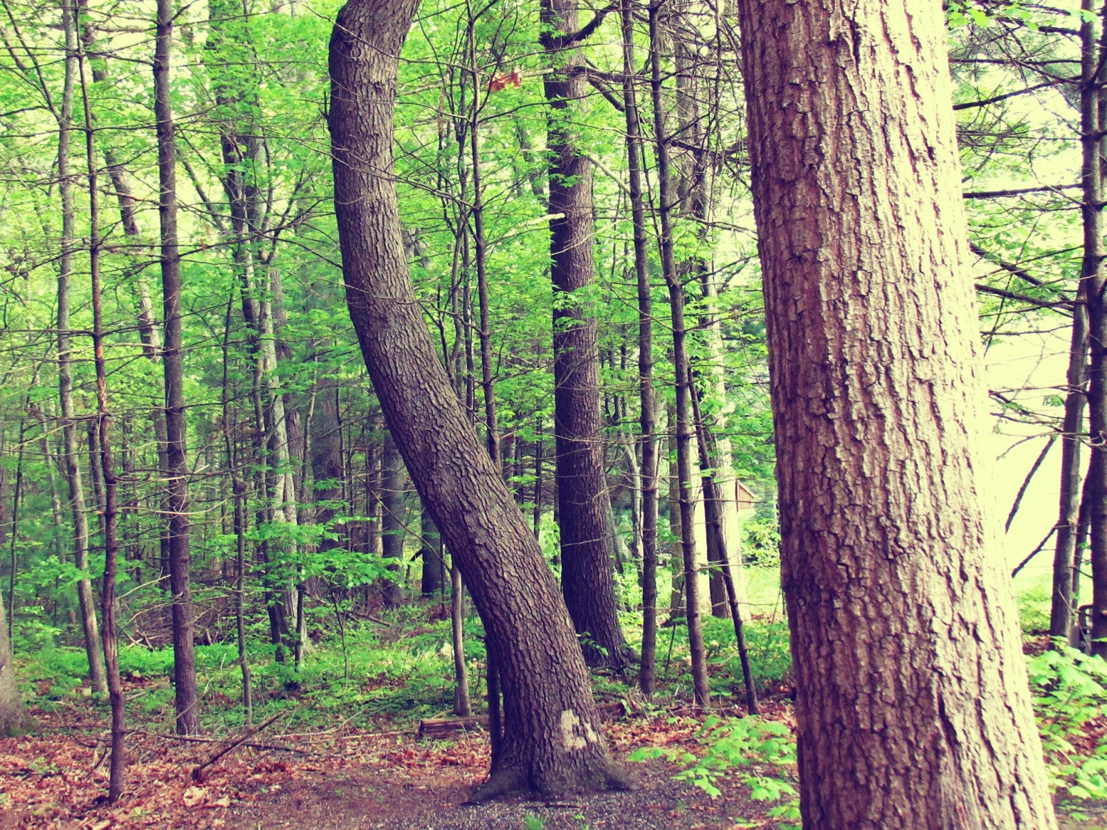 The Trees and Woodland of New England in Summer + Green Energy Healing Therapy