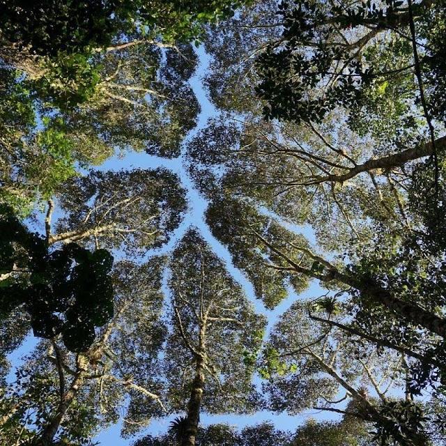 Bí ẩn về những tán cây tách rời nhau
