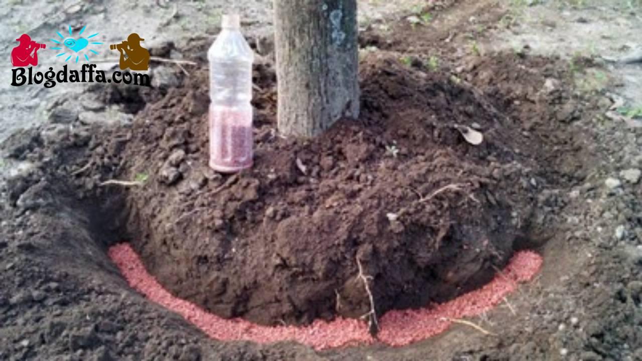 Proses pemupukan pohon mangga