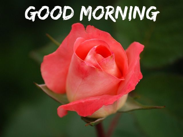 Good Morning Flowers Images Free Download HD