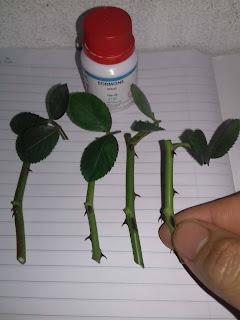 Cành giâm hoa hồng dài 5cm