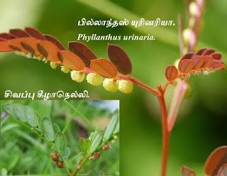 Phyllanthus urinaria.