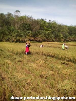 Pemanenan padi secara manual