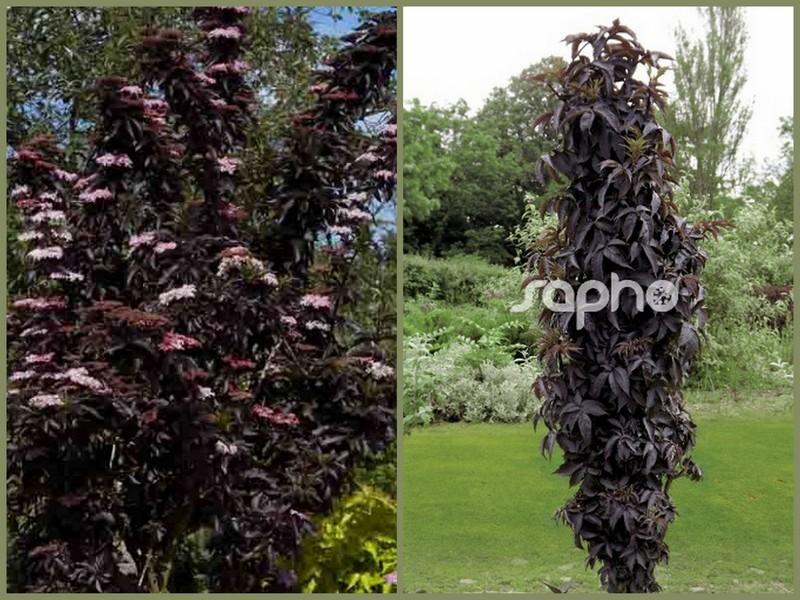 cagouille 39 s garden sambucus nigra black tower. Black Bedroom Furniture Sets. Home Design Ideas