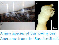 https://sciencythoughts.blogspot.com/2014/06/a-new-species-of-burrowing-sea-anemone.html