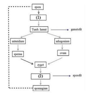 materi biologi proses metagenesis tumbuhan lumut