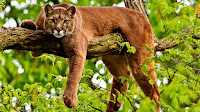 Puma hd pictures_Felis concolor