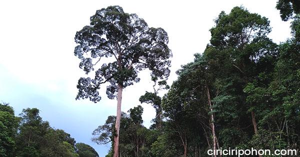ciri ciri pohon tengkawang
