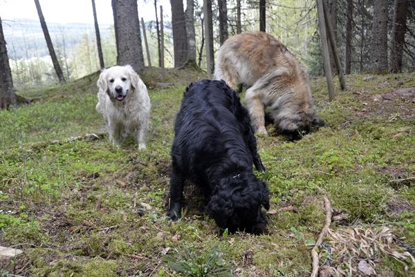 hunder på skautur