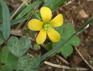 Flor amarilla de Oxalis europaea