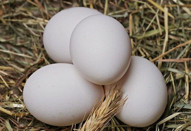 فوائد البيض في غذاء الطيور الزينة