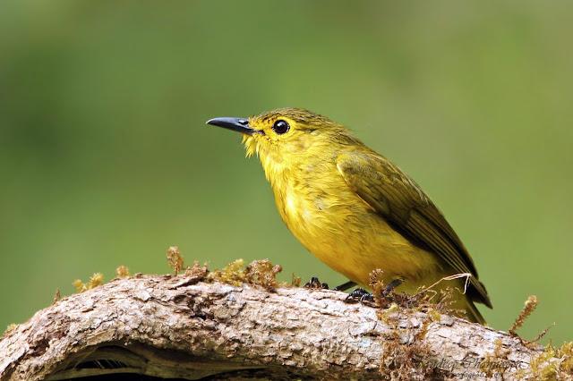 Yellow browed Bulbul