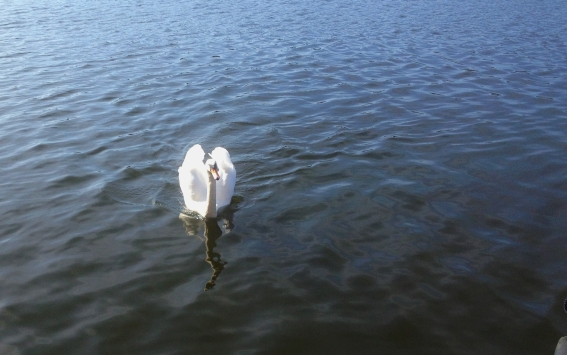 Schwan am Wasser
