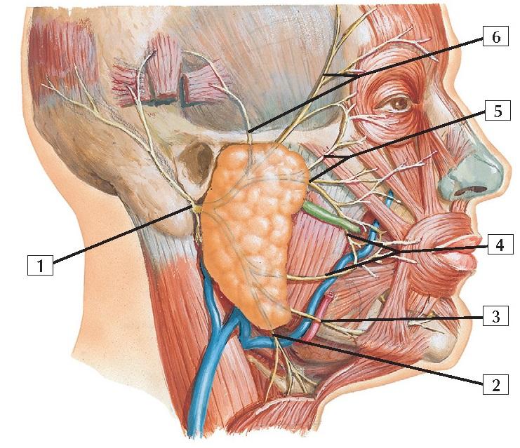 Facial Nerve Branches Anatomy