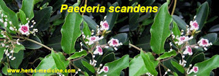 Sprue use leaves Paederia scandens