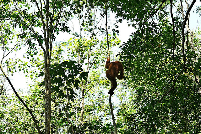 animal rainforest orang utan