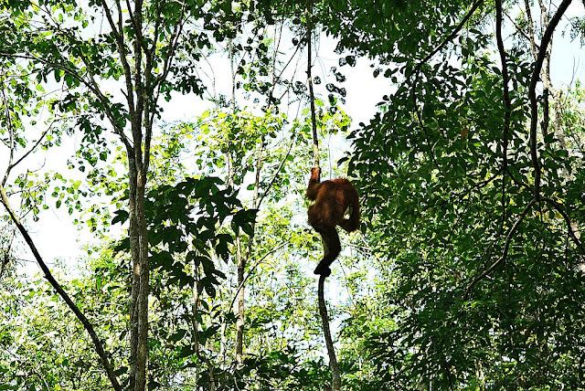 animal rainforest orang utan