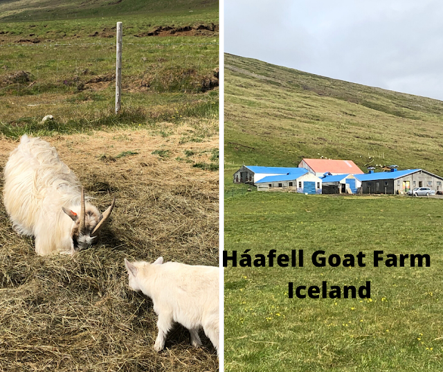 Savoring Iceland, Learning History, Exploring the Maker Spirit and Loving Goats at Haafell Goat Farm in West Iceland