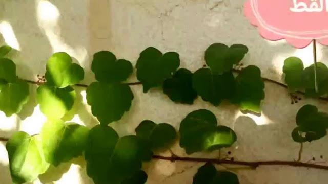 نبات مخلب القط-min