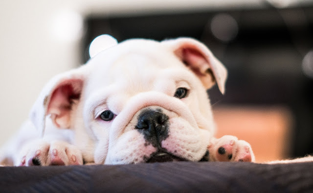 The Top 10 Cutest Puppies in the World