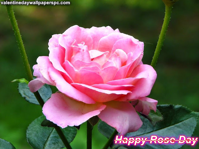 Happy Rose Day Pink Rose Wallpaper